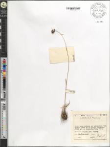 Luzula spicata (L.) DC.