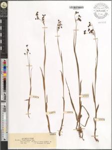 Luzula spadicea Lam.