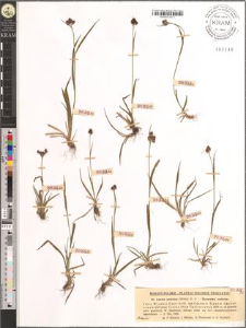 Luzula sudetica (Willd.) D. C.