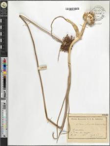 Allium atroviolaceum Boiss