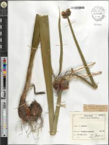 Allium cepa L. fo. proliferum (Moench) Repel
