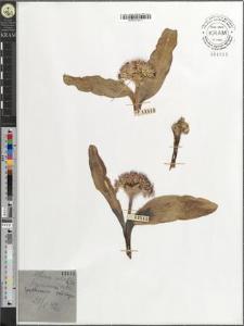 Allium akaka [?] Gmel.