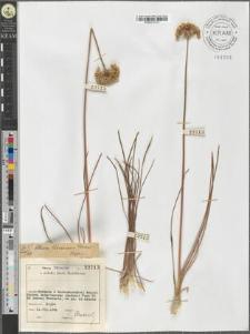 Allium flavescens Besser