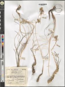 Allium flavum L.