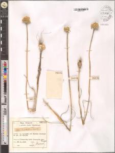 Allium guttatum Stev.(?)