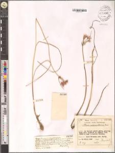 Allium melanantherum Panc.