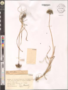 Allium montanum