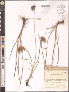 Allium montanum Schmidt