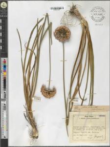 Allium montanum?