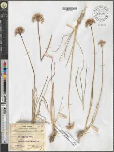 Allium montanum Schmidt.