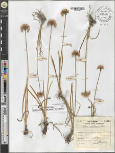 Allium montanum Schm.
