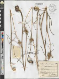 Allium oleraceum L.