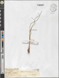Allium podolicum Błocki?