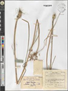 Allium oleraceum L. var. complanatum Fries
