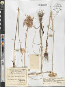 Allium podolicum Błocki