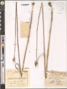 Allium scorodoprasum L.
