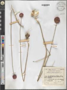 Allium sphaerocephalum L.