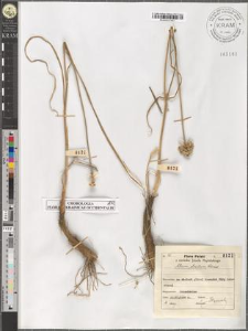 Allium strictum Schrad.