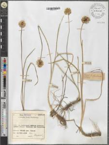 Allium strictum