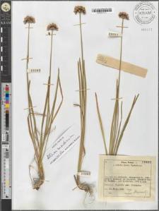 Allium montanum F. W. Schmidt