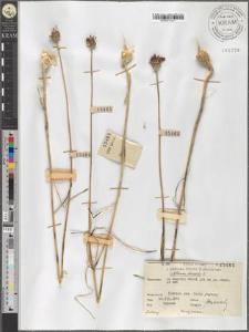 Allium vineale L.