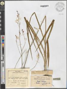 Anthericum ramosum L