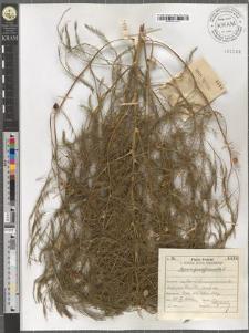 Asparagus officinalis L.