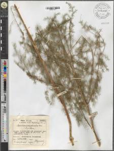 Asparagus pseudoscaber Gerc.