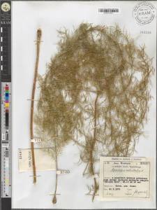 Asparagus verticillatus L.