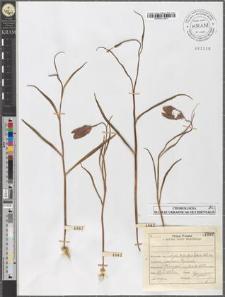Fritillaria meleagris L.
