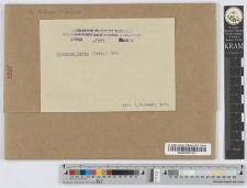 Uromyces Betae (Pers.) Kühn.