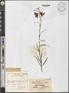 Fritillaria ruthenica Wikstr.