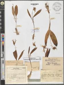 Erythronium dens-canis L.