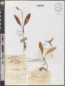 Erythronium dens canis L.
