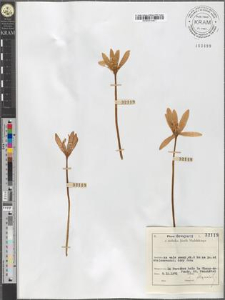 Colchicum sp.
