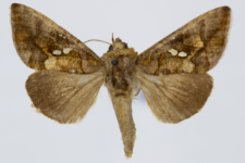 Chrysodeix chalcites