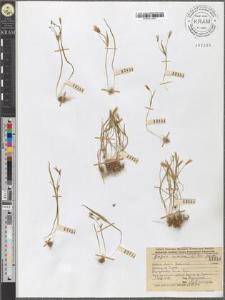 Gagea minima (L.) Ker-Gawler