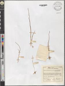 Gagea Liottardii R. et Sch. var. bulbifera Henri Jaccard