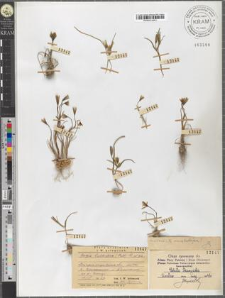 Gagea bulbifera (Pall.) R. et Sch.