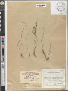 Gagea arvensis (Pers.) Dum.