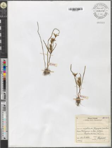 Gagea arvensis (Pers.) Dumort.