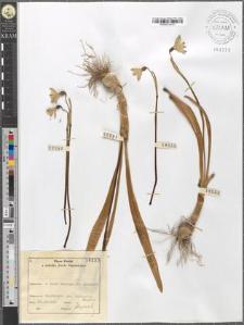 Leucoium vernum L.