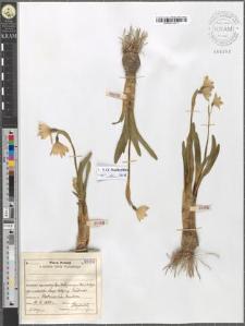 Leucoium vernum L. var. carpaticum Borb.