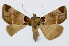 Plusidia cheiranthi