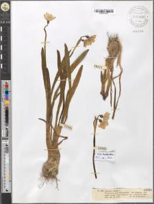 Leucojum vernum L. var. carpaticum Herbert