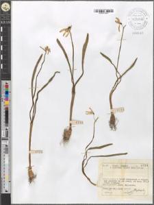 Galanthus nivalis L.