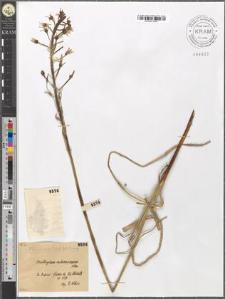 Ornithogalum sphaerocarpum Kern.