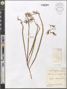Ornithogalum nutans L.