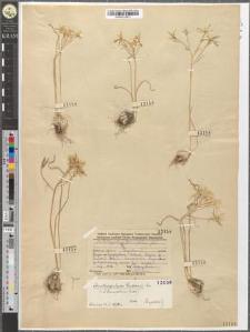 Ornithogalum tenuifolium Guss.