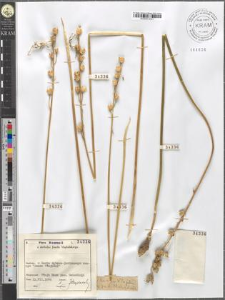 Ornithogalum flavescens